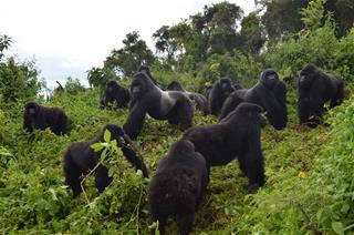 "Until Next Time: The Last Of ""The Gorillas In The Mist"" are believed to have died"